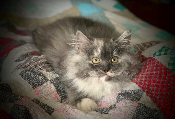 ragamuffin kittens smoke tortie and white on colorful quilt