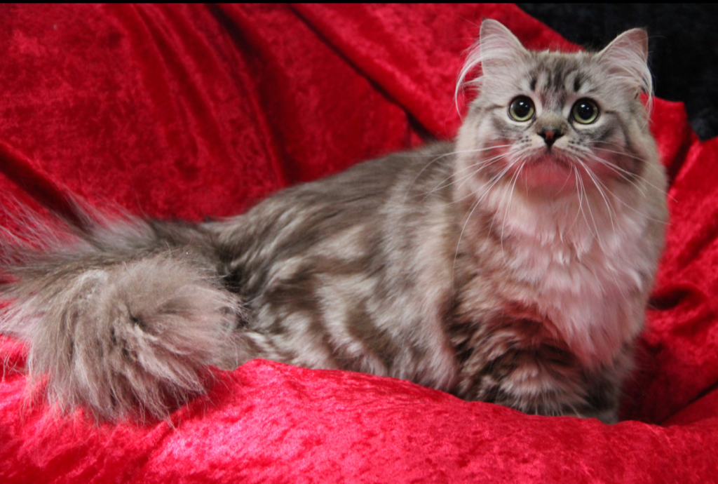 ragamuffin kittens mink tabby