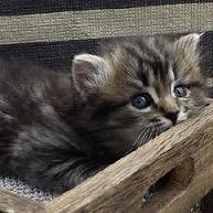ragamuffin breeders kitten peeking out of drawer
