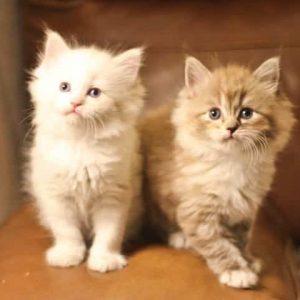 two ragamuffin kittens