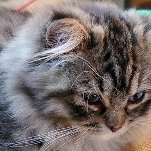 brown tabby ragamuffin breeder cat