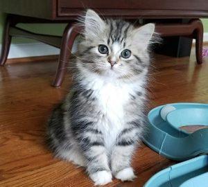 Ragamuffi kitten Tara