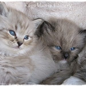 tabby RagaMuffin kittens for Sale
