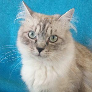 ragamuffin breeders cat bllue mink tabby aqua eyes