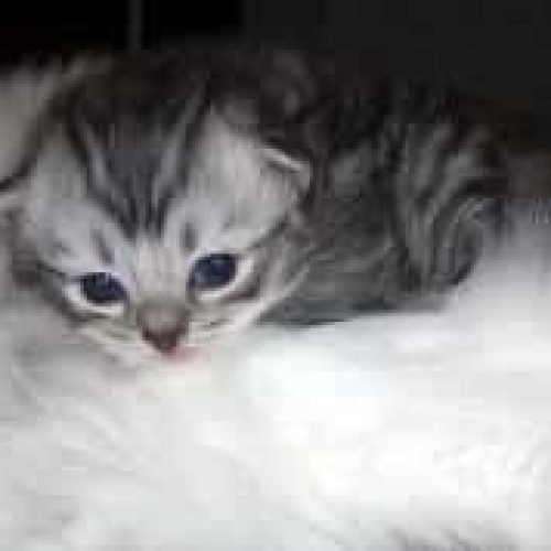 tiny young RagaMuffin kittens for Sale silver tabby